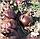 Гибрид красного репчатого лука Ред Булл F1, профессиональные семена Bejo 250 000 семян, Голландия, фото 3