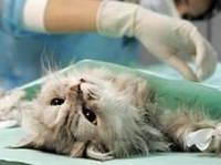 Стерилизация: кошка, хорек (самка) во 2й половине беременности (без стоимости препаратов)