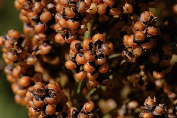 Сорго звичайне зернове Аггіл (RAGT)