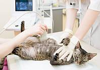 Кастрация: кота-крипторха (без стоимости препаратов)