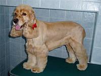 Стрижка собак (Кокер-спаниель)