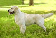 Стрижка собак (Голден ретривер)