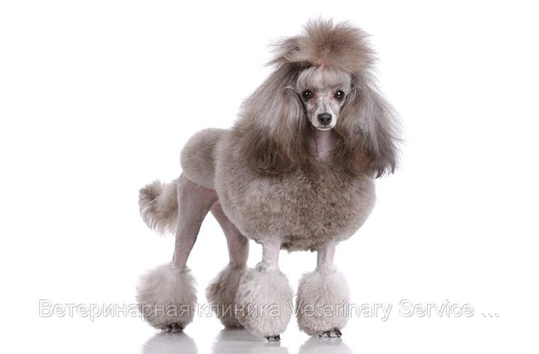 Стрижка собак (Королевский пудель)