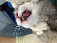 Вправление вывиха височно-челюстного сустава: кошка