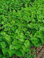 Кирказон ломоносовидный, филейник трава (Aristolochia clematitis) 100г