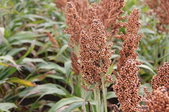 Сорго звичайне зернове Таргга  (RAGT)