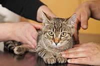 Крипторхизм (коррекция) 2 этап: кот, хорек