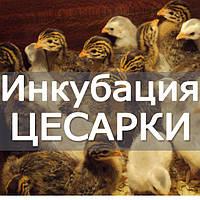 Инкубация цесариных яиц. Рекомендации  по инкубации и кормлении цесарок.