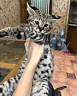 Котёнок Саванна Ф1 (Ашера) питомник Royal Cats. (Мальчик 05.09.18)