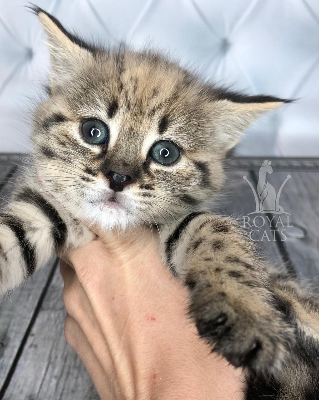 Кошечка Саванна Ф1 из украинского питомника Royal Cats (Девочка, 17/10/18)