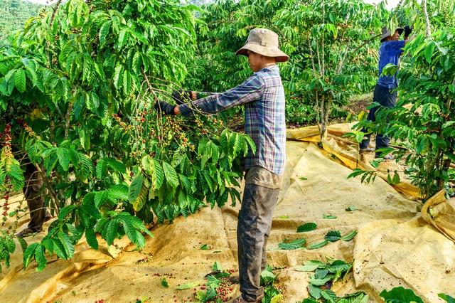 сбор кофе робуста Вьетнам