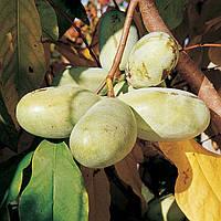 Семена Азимины Селекция США ( Набор №2)