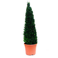 Ваш cад Самшит вечнозеленый (Buxus), форма: пирамида