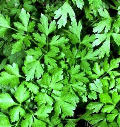 Семена петрушки листовой Карнавал