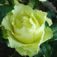 Роза штамбовая Лимбо