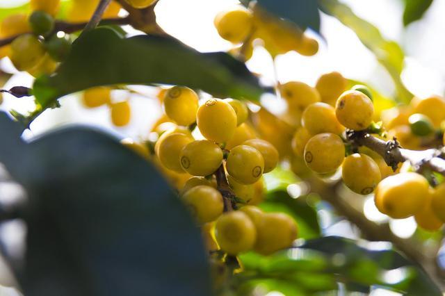 необжаренный кофе бразилия желтый бурбон