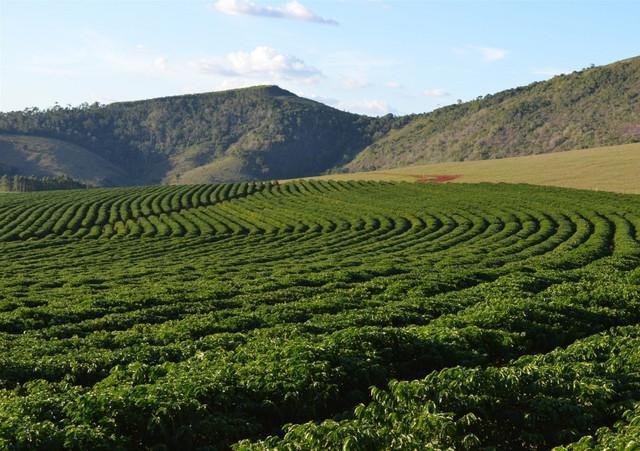 зеленый кофе бразилия сантос