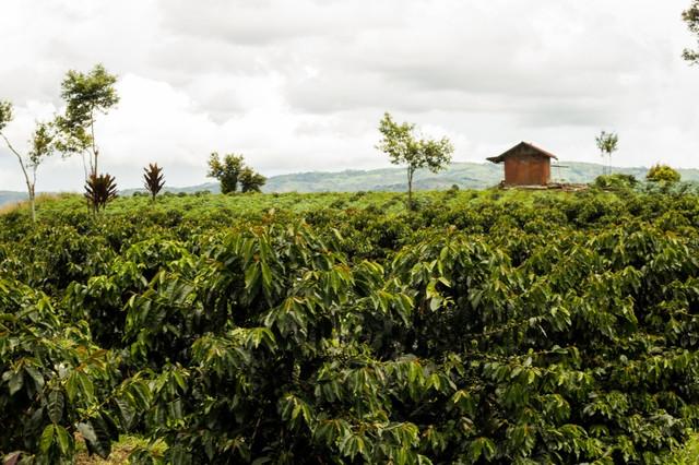 необжаренный кофе индонезия суматра