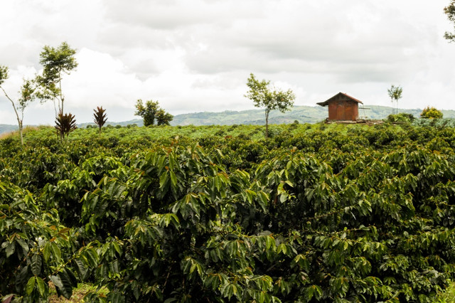 зеленый кофе индонезия суматра