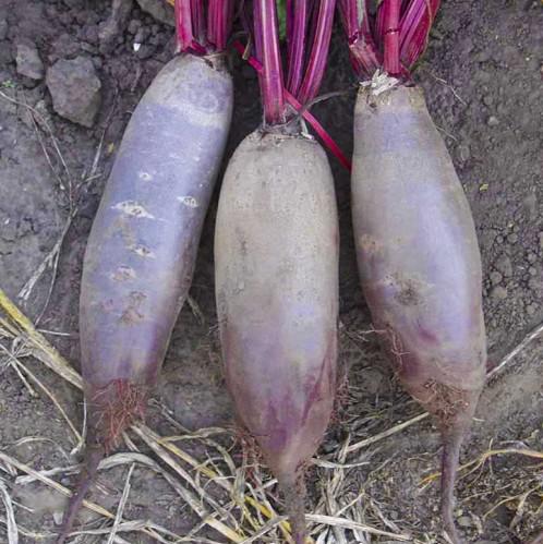 Таунус - семена свеклы, Bejo - 50 000 семян | калиброванные