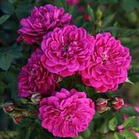 Роза штамбова Перпл Рейн