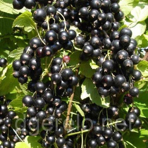Смородина чорна Титанія  - середньопізній сорт