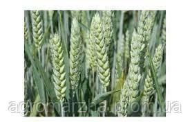 Яра тв. пшениця Династія (супереліта)