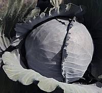 Климаро - семена краснокочанной капусты, Bejo - 2 500 семян   калиброванные