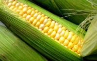 """Насіння кукурудзи """"ДН Хортиця"""". Новий простий гібрид 2016г. Покращена """"Оржиця"""""""