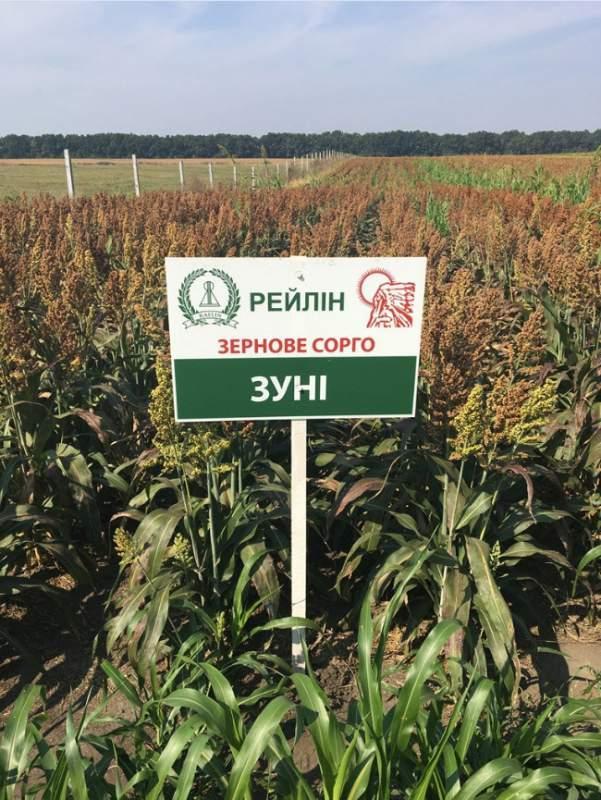 Гібрид зернового сорго Зуні (Raelin)