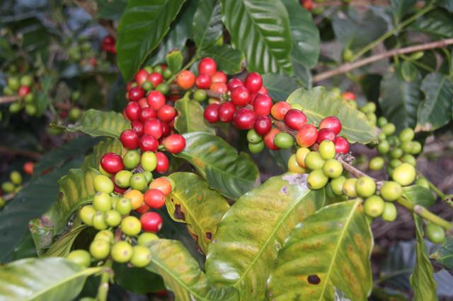 необжаренный кофе арабика малави памвамба