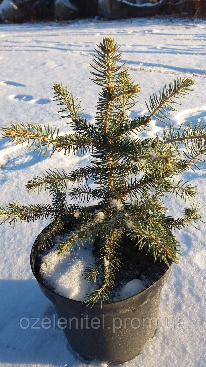 Ель колючая ф. Голубая / Picea pungens f. Glauca / Ялина колюча ф. Голуба