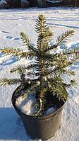 Ель колючая ф. Голубая / Picea pungens f. Glauca / Ялина колюча ф. Голуба, фото 1