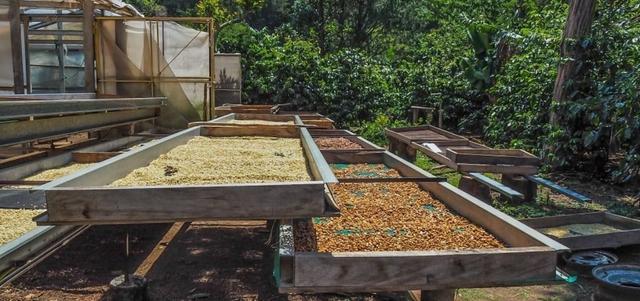 зелений кава арабіка панама