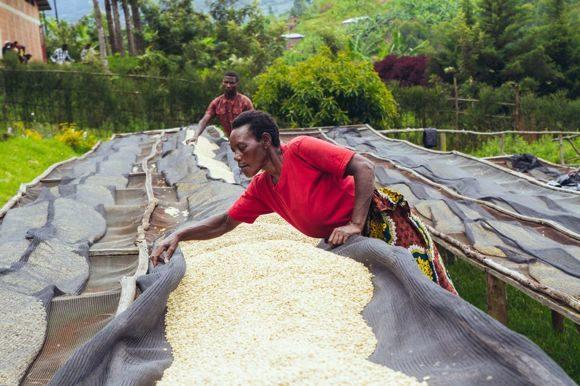 необжаренный кофе арабика руанда