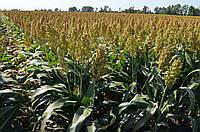Гібрид зернового сорго Ютамі (Raelin)