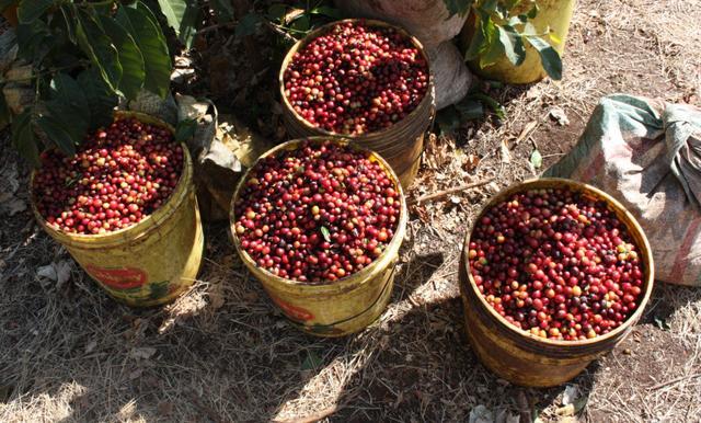 зеленый кофе арабика танзания