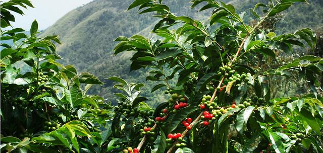 зеленый кофе арабика уганда