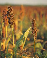 Гібрид зернового сорго Понкі (Raelin)