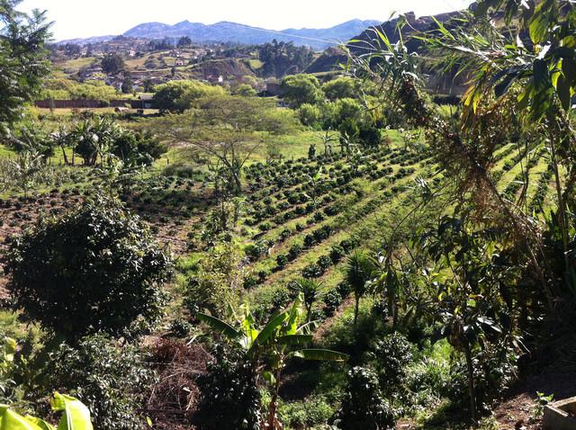 зеленый кофе арабика галапагос лоя паландра