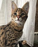 Мальчик Felix 03.08.18. Котёнок Саванна Ф1 (Ашера) питомник Royal Cats, фото 1