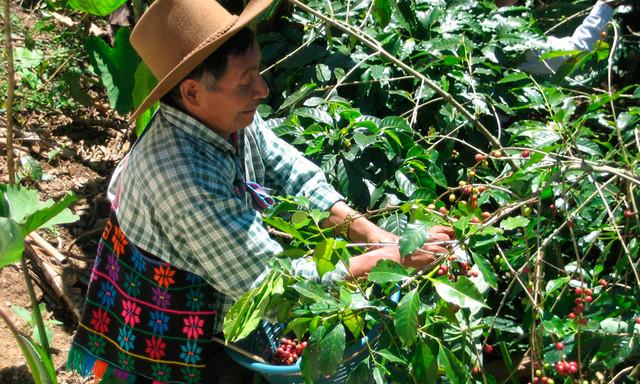 зеленый кофе арабика гватемала марагоджип