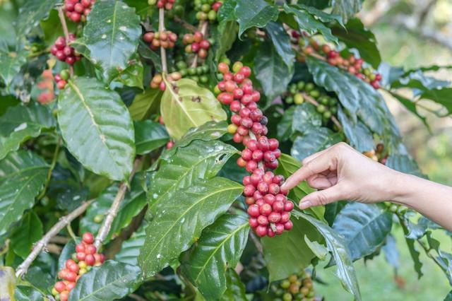 необжаренный кофе робуста бразилия