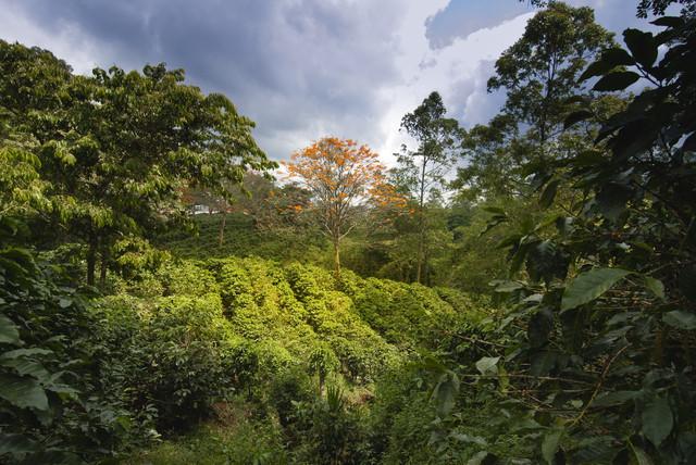 необжаренный кофе робуста индонезия