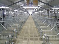 Будівництво свиноферм під ключ і постачанням обладнання, фото 1