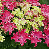 Гортензия крупнолистная Curly ® Sparkle Red, фото 2