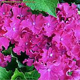Гортензия крупнолистная Curly ® Sparkle Red, фото 3