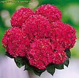 Гортензия крупнолистная Curly ® Sparkle Red, фото 4
