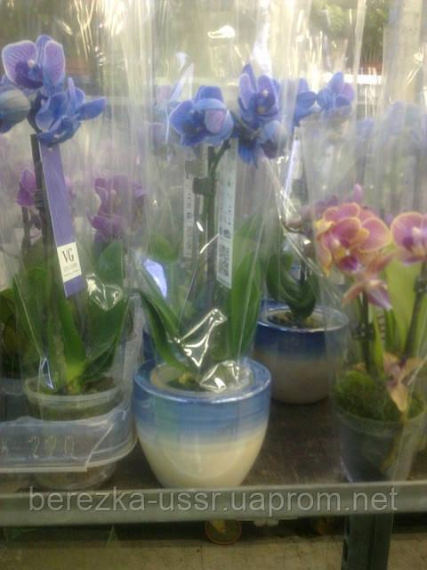 Мини орхидея в горшочке