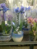 Мини орхидея в горшочке, фото 1